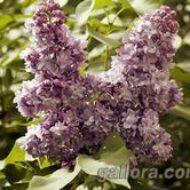 Незабываемое цветение в Киевском ботаническом саду