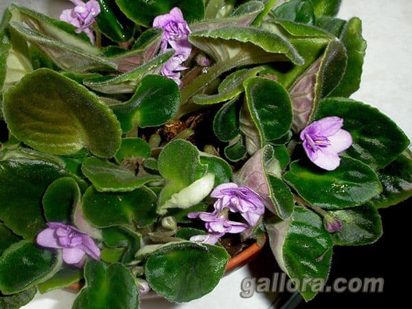 цвітіння фіалки