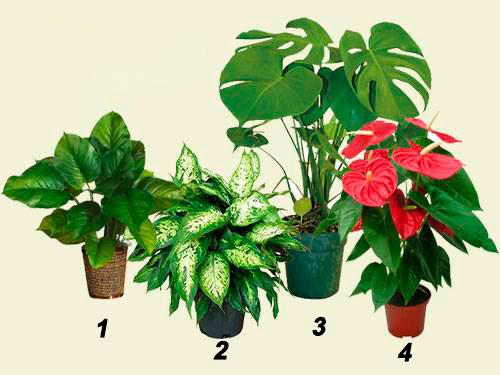 опасные комнатные растения 01
